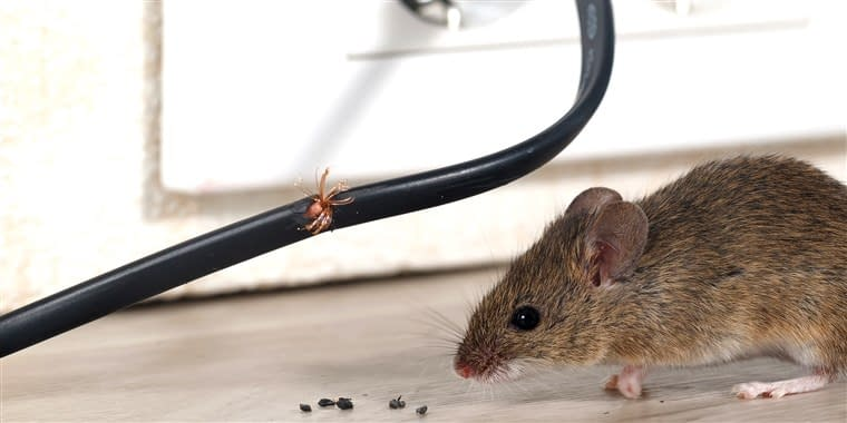 RODENT EATING AN ELECTRICAL WIRE